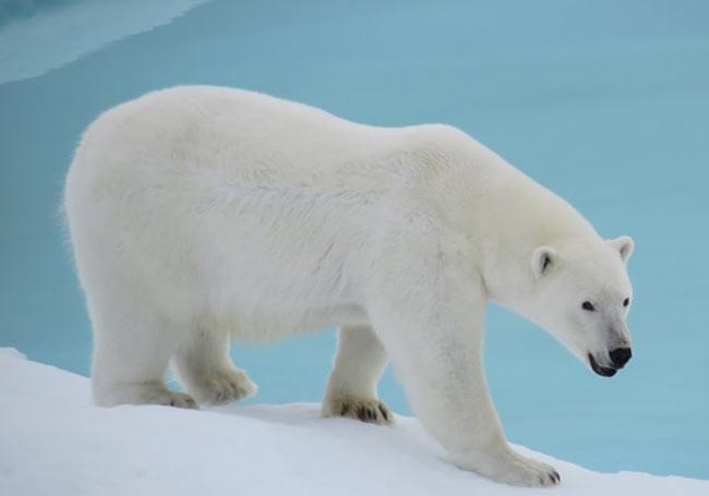 Ursul Polar - Regele Arcticii