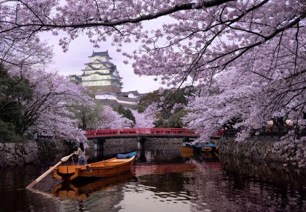Sacura simbol al Japoniei