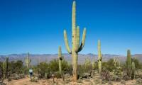 Cel mai mare cactus este saguaro