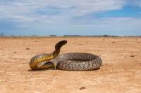 Şarpele taipan
