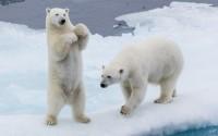 Urşii polari