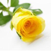Buchete de trandafiri galbeni