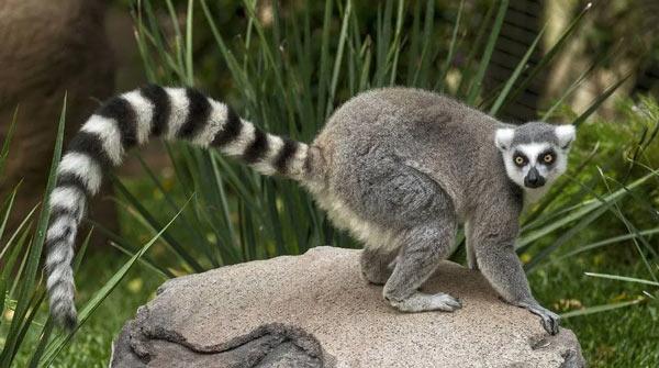 Lemurul