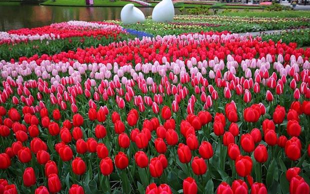 Olanda cel mai mare cultivator si furnizor de lalele din Europa