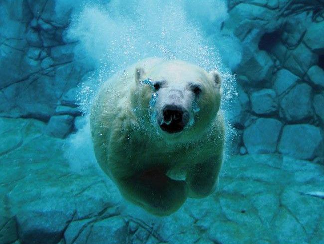 Ursii Polari - inotator iscusit