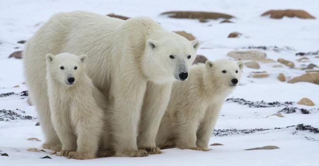 Ursii Polari - Regii Arcticii